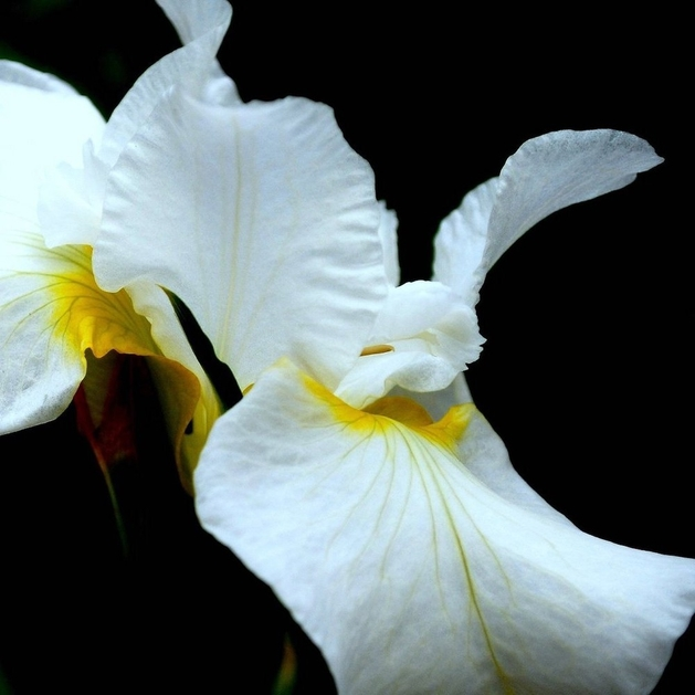 photo of a white iris flower